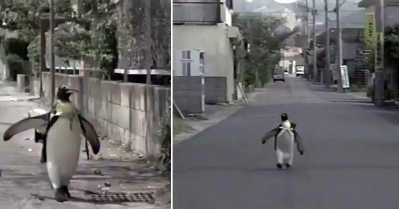 Un pinguin și-a luat soarta în ...ghiozdan
