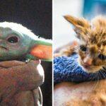 Forța e cu ea! O pisicuță care arată ca Baby Yoda a fost salvată din incendiile din California