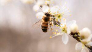 Știi ce proprietăți are veninul de albine? Este o veritabilă sursă de sănătate
