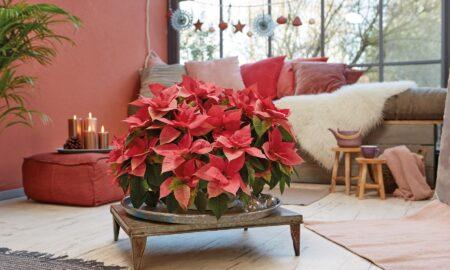Cum faci o Crăciuniță să înflorească. Sfaturile experților pentru alegerea și îngrijirea lor