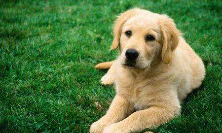 """Vietnamezi acuzați că i-au mâncat toți câinii. """"Era greu, a fost foarte gras"""""""