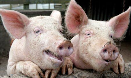 Moment istoric în alimentația omenirii. Primii porci modificați genetic aprobați pentru consumul uman