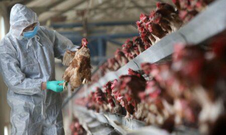 Gripa aviară generează probleme severe. Virusul a scăpat de sub control