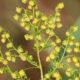 Descoperire uluitoare. Planta minune care poate distruge coronavirusul. Se găsește și în România