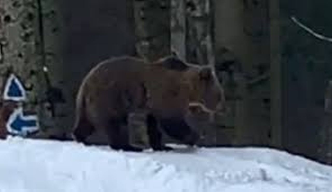 Momente de teroare pe pârtia din Predeal. Câțiva schiori au dat nas în nas cu un urs
