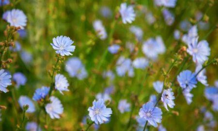 Planta miraculoasă de la marginea drumului. Este bună pentru detoxifierea organismului, îmbunătățește memoria și scade glicemia