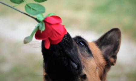 Testul care depistează infectia COVID-19, înlocuit de câinii detectivi?