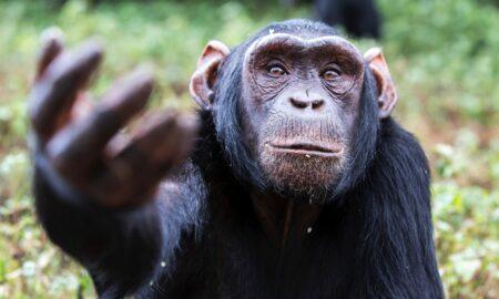 """O boală misterioasă a decimat zeci de cimpanzei. Pericol major și pentru oameni. """"Se culcau sănătoși și dimineața erau morți"""""""