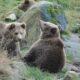 Autoritățile din România, în alertă din cauza celor patru pui de urs