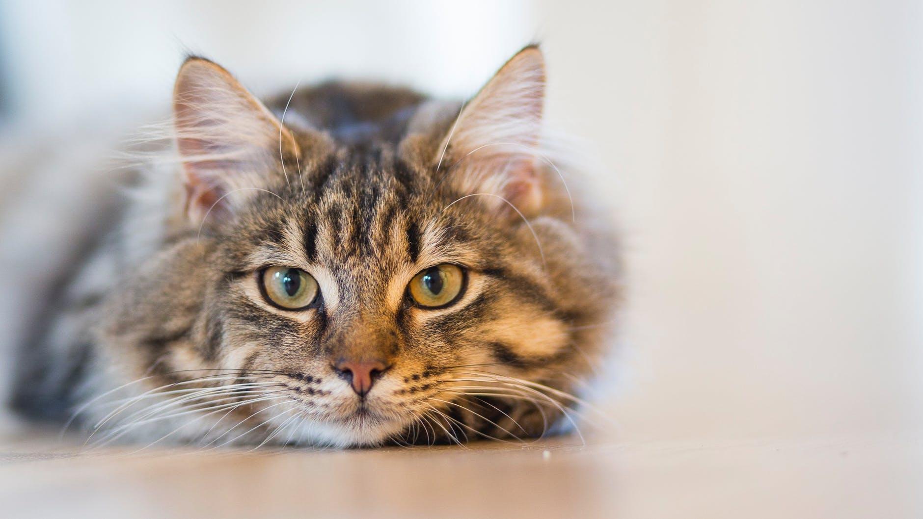 """Pisica, un terapeut cu blăniță! Acest animal magic îți """"toarce"""" toate durerile"""