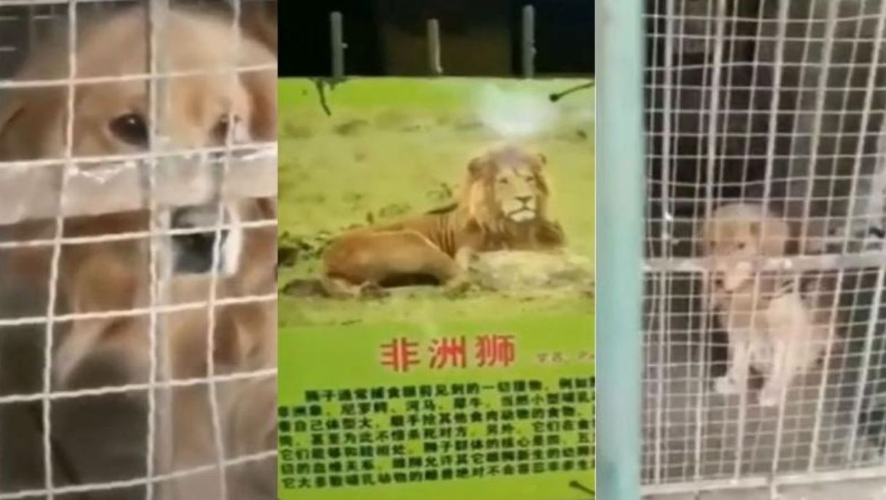 Ce caută un golden retriever într-o cuşcă destinată leului african? Explicație halucinantă