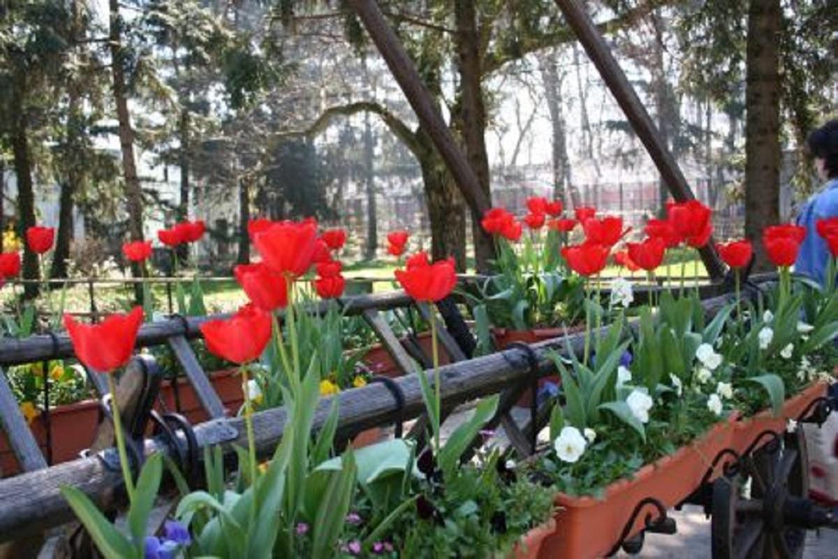 """Laleaua """"Doamna Maria Brâncoveanu"""", în cea mai mare grădină florală olandeză, Keukenhof"""