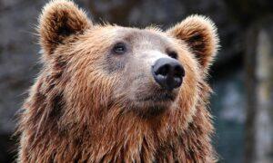 """Cazul ursului Arthur, în atenția Comisiei Europene. """"Cercetăm detaliile, urmărim cu mare atenție..."""""""