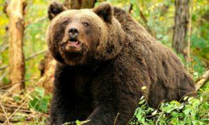 Panică totală în România: Urșii atacă în mod repetat oamenii