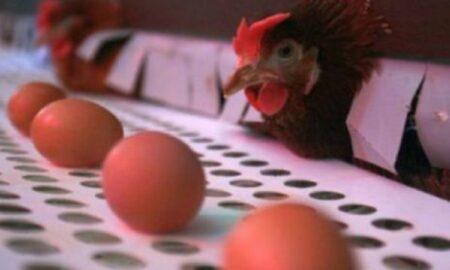 Focar de Salmonella la o fermă de găini! Zeci de mii de păsări incinerate