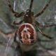 Păianjenul cu mușcătura veninoasă a luat cu asalt Europa. La ce trebuie să fim atenți