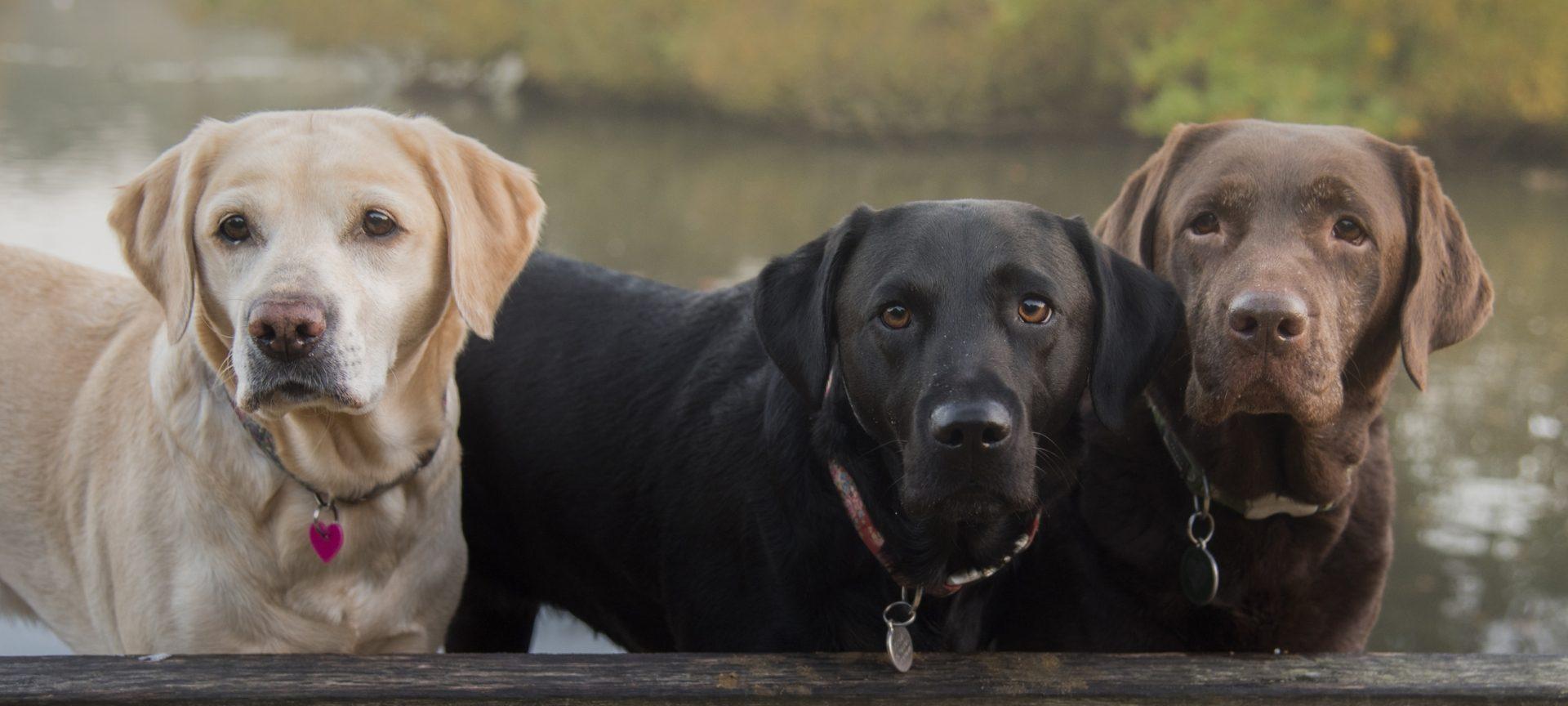 Adoptarea unui câine pe lângă cel pe care îl ai deja poate fi o problemă. Ce trebuie să știi