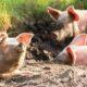 Alertă! Un nou focar de pestă porcină africană. Face ravagii în România