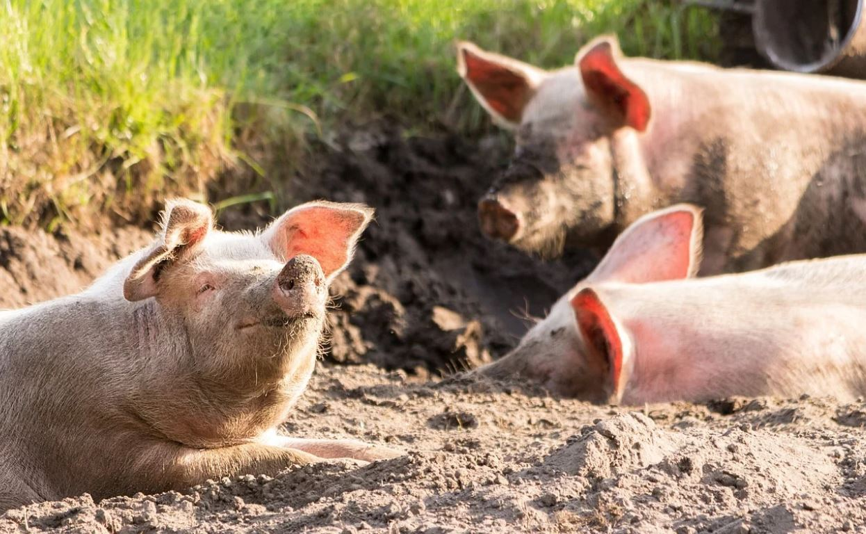 Focare de pestă porcină africană în judeţul Dolj. Ce solicită autoritățile