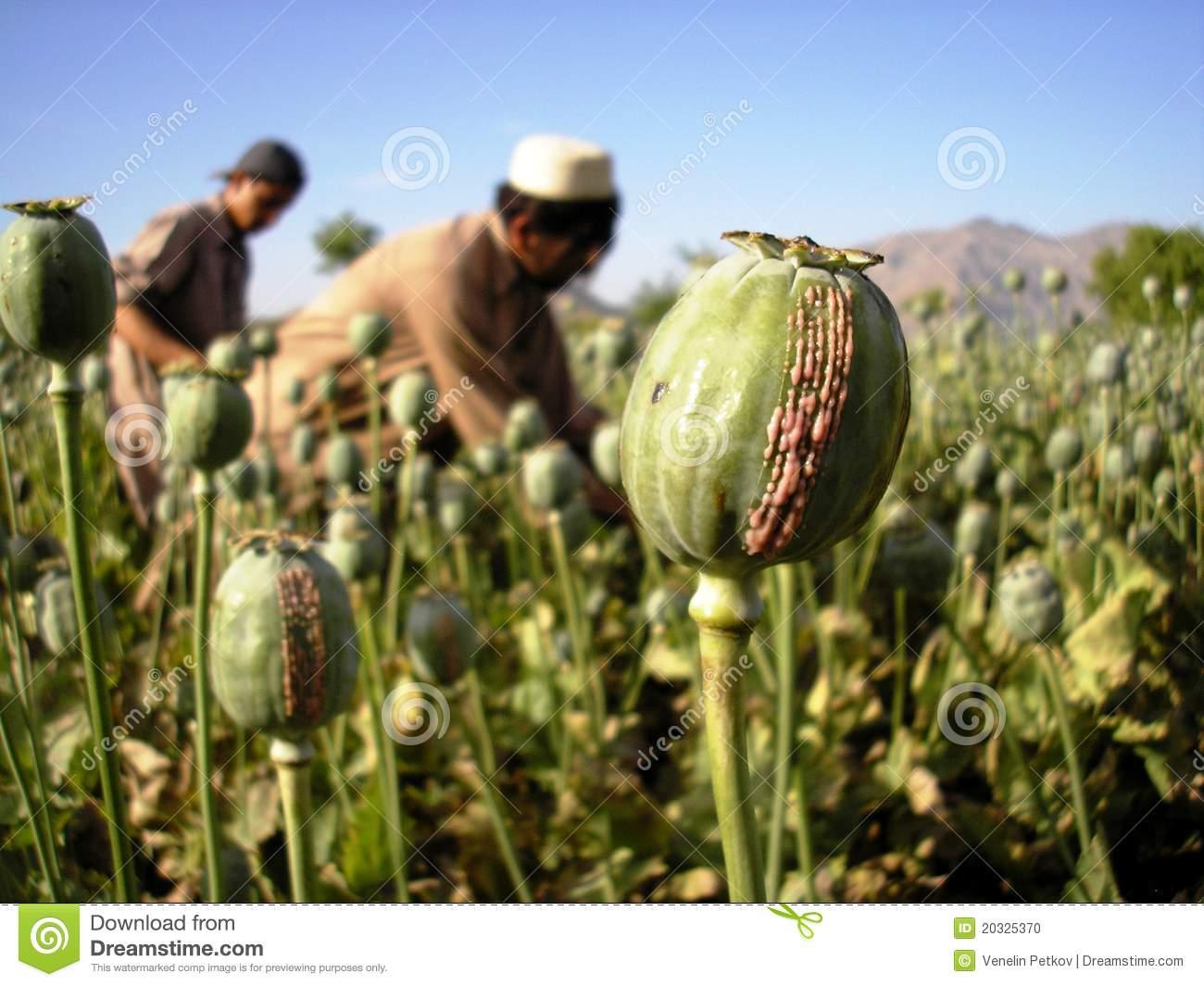 Afganistanul va deveni un narco-stat? Talibanii susţin că vor renunţa la producţia de heroină