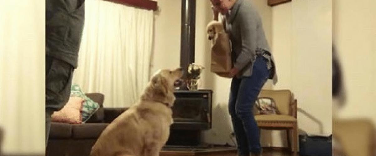 Reacția adorabilă a unui Golden Retriever atunci când vede un nou cățel în familie!