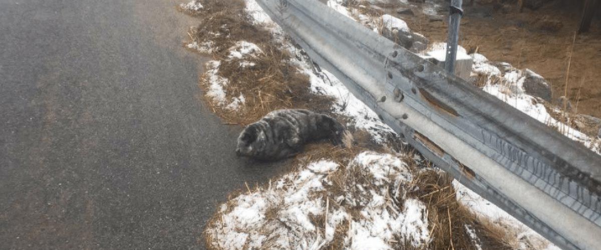 Salvarea unui pui de focă de pe un drum abandonat!
