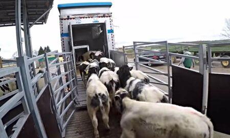 Ce se întâmplă cu transportul de animale în perioada caniculei. Anunțul făcut de premierul României!