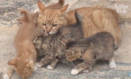 Indiferent de problemele cu care s-a confruntat, o pisică și-a crescut puii cu multă dragoste!