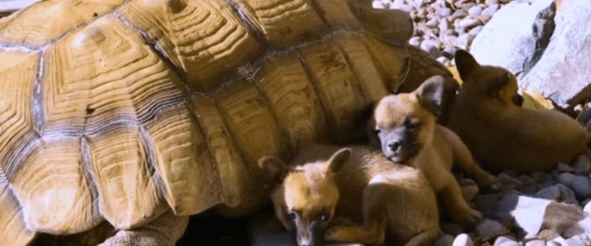O broască țestoasă a adoptat patru cățeluși orfani!