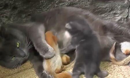 O pisică a adoptat patru pui de veveriță adorabili!
