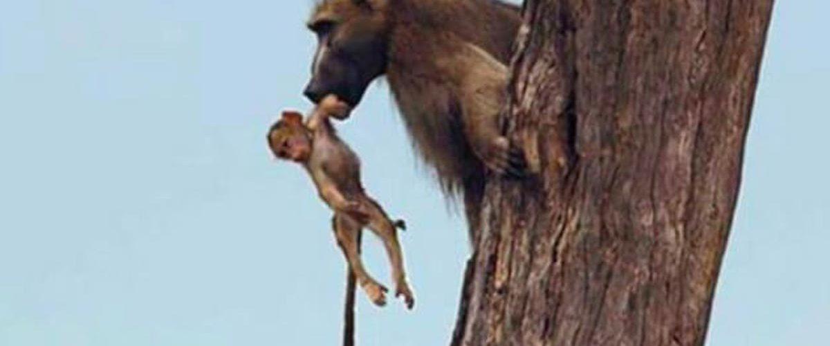 Reacția adorabilă a unei leoaice atunci când prinde un pui de babuin căzut din copac!