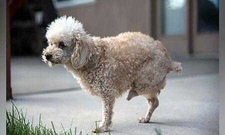 Salvat după zece ani petrecuți pe stradă, un câine cu două picioare se poate bucura acum de viață!