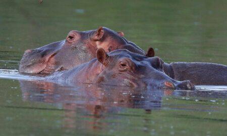 Hipopotamii lui Pablo Escobar sunt recunoscuți legal ca oameni de către un tribunal american. Ce s-a întâmplat