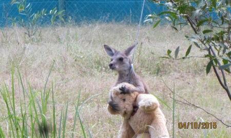 Imagini înduioșătoare. Reacția unui pui de cangur rămas orfan