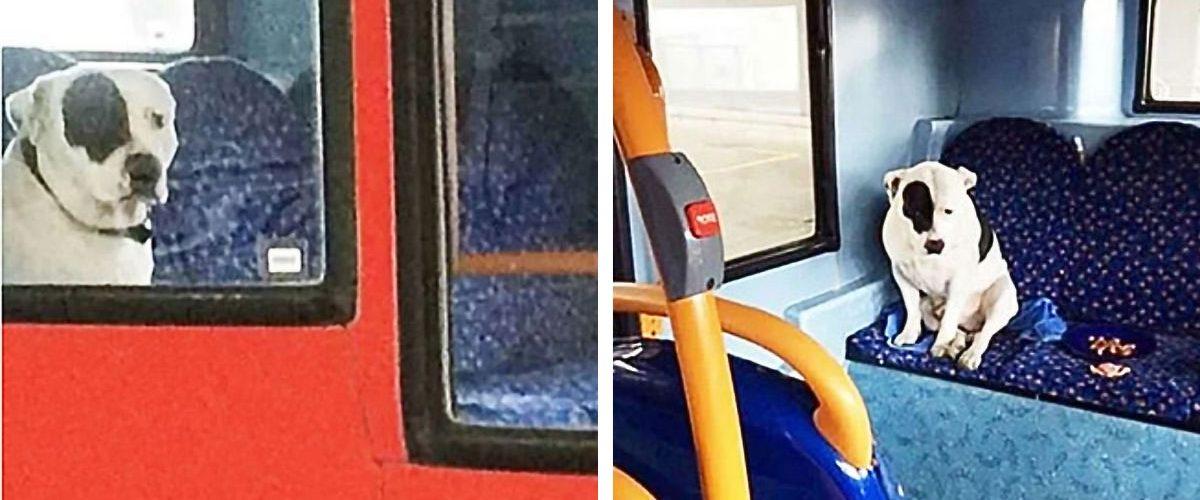 Pierdut de stăpâna lui, un cățel cere ajutorul unui șofer de autobuz!