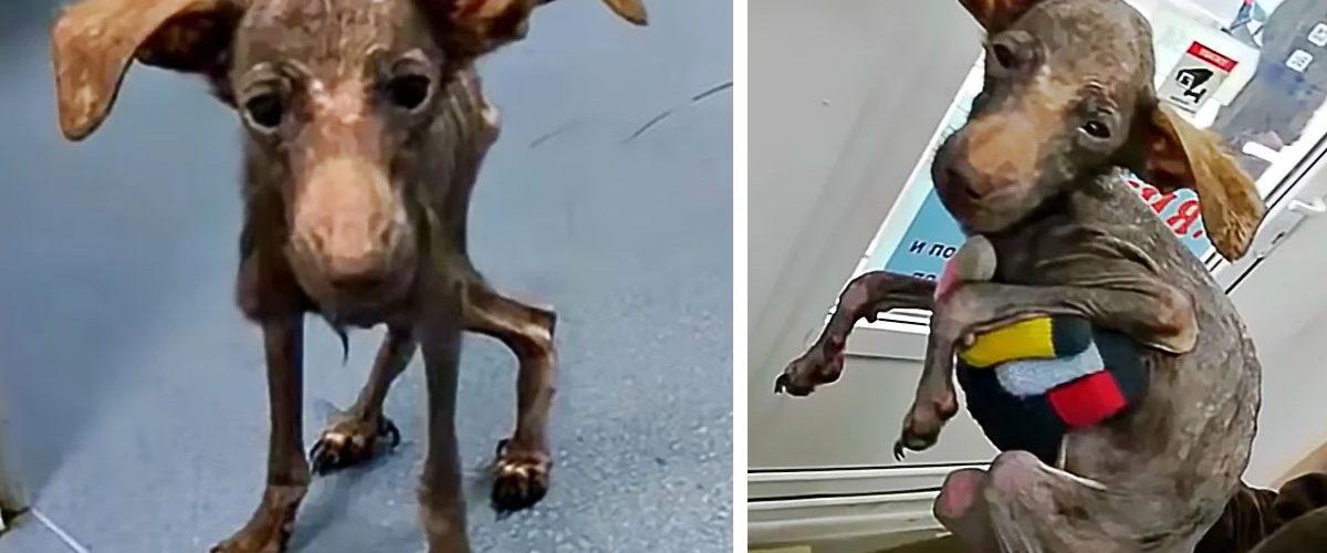 Transformarea uimitoare a unui cățeluș aflat la un pas să moară de foame!